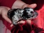 Pup 4 Teef Bl Merle Bi