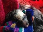 Pup 4 Teef Blue Merle