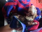 Pup 5 Teef Red Merle
